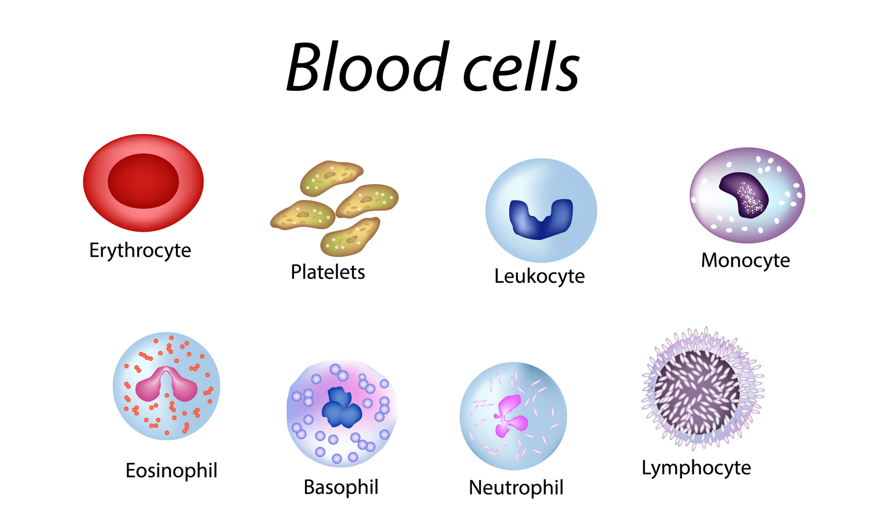Blood cells. Set of colored cells. Red blood cells, platelets, leukocytes, lymphocytes, eosinophils, neutrophils, basophils monocytes Infographics Vector illustration on isolated background